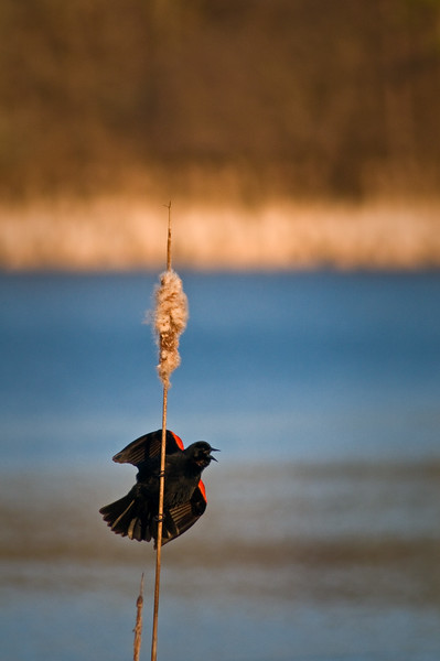 WFG 010<br /> <br /> A male red wing blackbird sounds a spring mating call at 91st Street Marsh.  Waterfall Glen Forest Preserve, DuPage County, Illinois.
