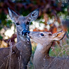 WFG 025<br /> <br /> A whitetail doe and her yearling.  Waterfall Glen Forest Preserve, DuPage County, Illinois.
