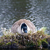 WFG 054<br /> <br /> A mother canada goose guards her nest at 91st Street Marsh.  Waterfall Glen Forest Preserve, DuPage County, Illinois.