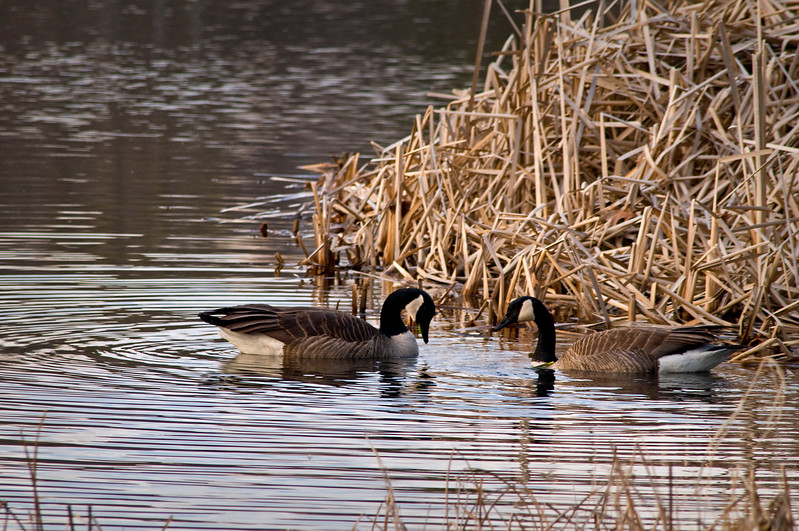 WFG 044<br /> <br /> A pair of canada geese on the shore of 91st Street Marsh.  Waterfall Glen Forest Preserve, DuPage County, Illinois.