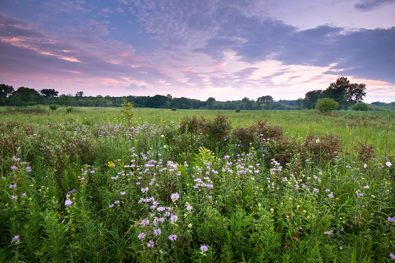WFG 058<br /> <br /> Wildflowers at sunset.  Waterfall Glen Forest Preserve, DuPage County, Illinois.
