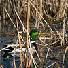 WFG 046<br /> <br /> A drake mallard in the cattails of 91st Street Marsh.  Waterfall Glen Forest Preserve, DuPage County, Illinois.