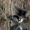 WFG 045<br /> <br /> A canada goos preens in the shallows of 91st Street Marsh at Waterfall Glen Forest Preserve, DuPage County, Illinois.