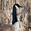 WFG 048<br /> <br /> Canada goose portrait.  Waterfall Glen Forest Preserve, DuPage County, Illinois.