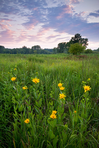 WFG 056<br /> <br /> Wildflowers at sunset.  Waterfall Glen Forest Preserve, DuPage County, Illinois.