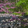 WFG 053<br /> <br /> Redbuds blooming in spring.  Waterfall Glen Forest Preserve, DuPage County, Illinois.