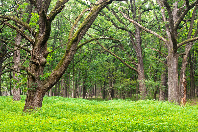 WFG 059<br /> <br /> The spring woods at Waterfall Glen Forest Preserve, DuPage County, Illinois.