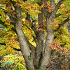 WFG 052<br /> <br /> A huge mature oak tree in fall color.  Waterfall Glen Forest Preserve, DuPage County, Illinois.