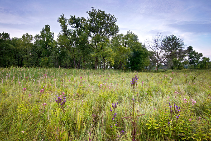 WCP 004<br /> <br /> Blue vervain and joe pye weed in a wetland area of West Chicago Prairie Forest Preserve, DuPage County, Illinois.