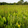 WCP 003<br /> <br /> Prairie dock and native wildflowers at West Chicago Prairie Forest Preserve, DuPage County, Illinois.