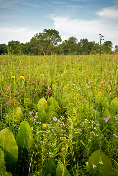 WCP 002<br /> <br /> Prairie dock and native wildflowers at West Chicago Prairie Forest Preserve, DuPage County, Illinois.