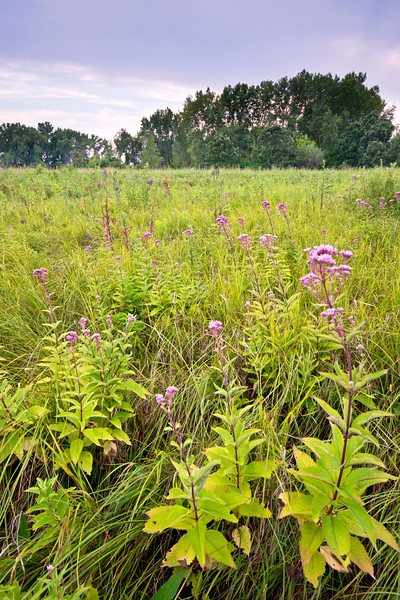 WCP 006<br /> <br /> Joe pye weed at West Chicago Prairie Forest Preserve, DuPage County, Illinois.