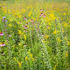 WDW 016<br /> <br /> A diverse mixture of native wildflowers paint the summer prairie with a rainbow of color.  West DuPage Woods Forest Preserve,  DuPage County, Illinios.