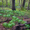 WDW 003<br /> <br /> Mayapples appear as tiny umbrellas in the spring woods at West DuPage Woods Forest Preserve, DuPage County, Illinois.