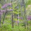 WDW 013<br /> <br /> Easter redbud trees showing off their spring blossoms.  West DuPage Woods Forest Preserve, DuPage County, Illinois.