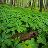 WDW 005<br /> <br /> Mayapple wildflowers blanket a hillside at West DuPage Woods Forest Preserve, DuPage County, Illinois.