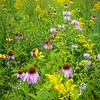 WDW 018<br /> <br /> A diverse mixture of native wildflowers paint the summer prairie with a rainbow of color.  West DuPage Woods Forest Preserve,  DuPage County, Illinios.