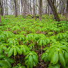 WDW 002<br /> <br /> Mayapples cover parts of the forest floor in spring.  West DuPage Woods Forest Preserve, DuPage County, Illinois.