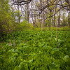 WDW 008<br /> <br /> Skunk cabbage sprouts in a small marsh at West DuPage Woods Forest Preserve, DuPage County, Illinois.