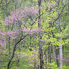 WDW 012<br /> <br /> Easter redbud trees showing off their spring blossoms.  West DuPage Woods Forest Preserve, DuPage County, Illinois.