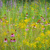 WDW 020<br /> <br /> A diverse mixture of native wildflowers paint the summer prairie with a rainbow of color.  West DuPage Woods Forest Preserve,  DuPage County, Illinios.