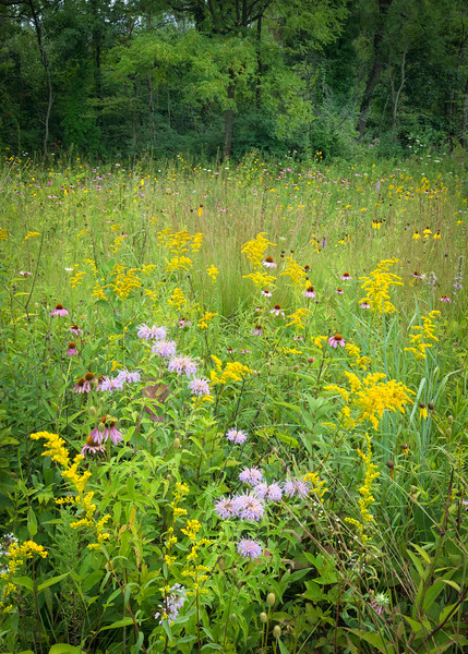 WDW 017<br /> <br /> A diverse mixture of native wildflowers paint the summer prairie with a rainbow of color.  West DuPage Woods Forest Preserve,  DuPage County, Illinios.