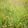 WDW 015<br /> <br /> A diverse mixture of native wildflowers paint the summer prairie with a rainbow of color.  West DuPage Woods Forest Preserve,  DuPage County, Illinios.