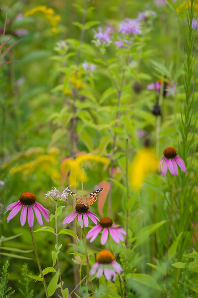 WDW 021<br /> <br /> A painted lady butterfly enjoys the nectar of a purple coneflower at West DuPage Woods Forest Preserve.  DuPage County, Illinois.