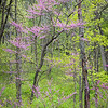 WDW 014<br /> <br /> Easter redbud trees showing off their spring blossoms.  West DuPage Woods Forest Preserve, DuPage County, Illinois.