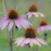 WDW 026<br /> <br /> Purple coneflowers still blooming in the late summer prairie.  West DuPage Woods Forest Preserve, DuPage County.