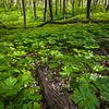 WDW 009<br /> <br /> Mayapples in dappled sunlight.  West DuPage Woods Forest Preserve, DuPage County, Illinois.