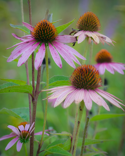 WDW 025<br /> <br /> Purple coneflowers still blooming in the late summer prairie.  West DuPage Woods Forest Preserve, DuPage County.