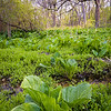 WDW 007<br /> <br /> Skunk cabbage sprouts in a small marsh at West DuPage Woods Forest Preserve, DuPage County, Illinois.