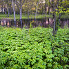 WDW 011<br /> <br /> Mayapples on the edge of a vernal spring pool.  West DuPage Woods Forest Preserve, DuPage County, Illinois.