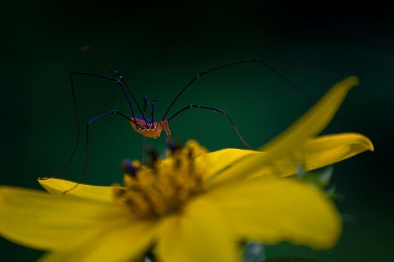 BP 009                         A woodland spider rests on a wildflower Black Partridge Woods Nature Preserve, Cook County, IL.