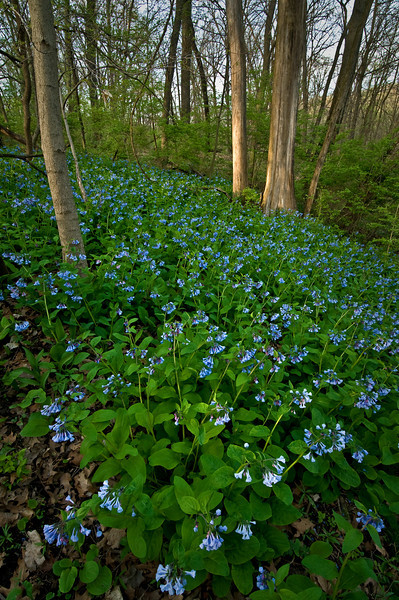BP 011                      Virginia bluebells carpet the forest floor in spring at Black Partridge Woods Nature Preserve, Cook County, IL.