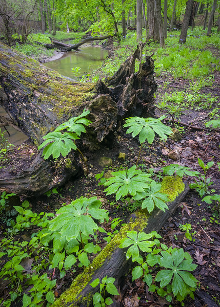BP 021<br /> <br /> Springtime in Black Partridge Nature Preserve.  Will County, Illinois.