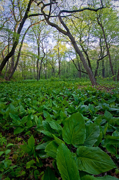 BP 007                          One of the first plants to emerge in spring, skunk cabbage covers the forest floor at Black Partridge Woods Nature Preserve, Cook County, IL.