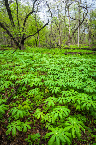 BP 023<br /> <br /> A tiny forest of mayapple wildflowers carpets the floor of a spring woodland.  Black Partridge nature preserve, Cook County, Illinois.