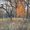 BSF 004<br /> <br /> The last rays of sunlight filter through an oak savanna on a November afternoon at Bluff Spring Fen Nature Preserve, Cook County, Illinois.