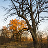 BSF 003<br /> <br /> The last rays of sunlight filter through an oak savanna on a November afternoon at Bluff Spring Fen Nature Preserve, Cook