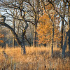 BSF 002<br /> <br /> An oak savanna bathed in warm sunlight on a November afternoon at Bluff Spring Fen Nature Preserve, Cook County, Illinois.