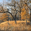 BSF 001<br /> <br /> An oak savanna bathed in warm sunlight on a November afternoon at Bluff Spring Fen Nature Preserve, Cook County, Illinois.
