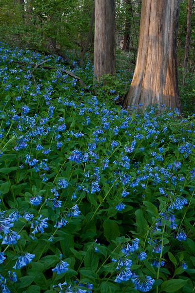 Bluebells in bloom at Black Partridge. Lemont, IL<br /> <br /> IL-100414-0023