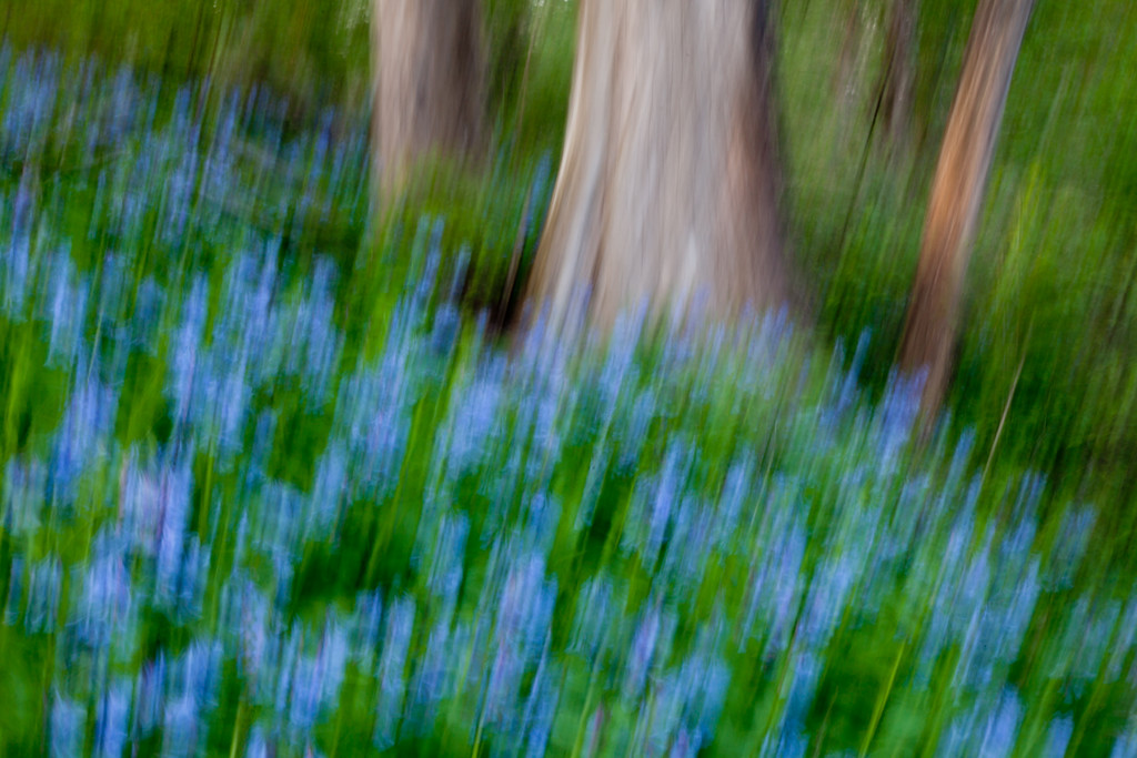 Abstract of bluebells at Black Partridge. Lemont, IL<br /> <br /> IL-100414-0033