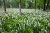 Wolf Road Wild Hyacinths