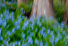 Abstract of bluebells at Black Partridge. Lemont, IL<br /> <br /> IL-100414-0035