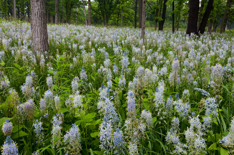 Wild hyacinths carpet the ground of Wolf Road Prairie. Westchester, IL<br /> <br /> IL-100521-0057