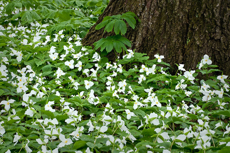 DWW 002                        Spring trillium carpet the forest floor at Daniel Wright Woods, Lake County, Illinois.