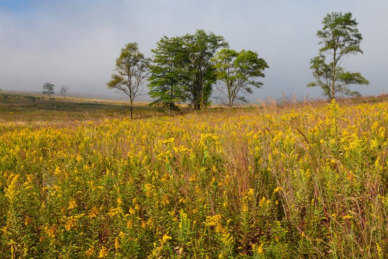 Goldenrod grows abundant on Springbrook Prairie. Naperville, IL<br /> <br /> IL-090913-0081